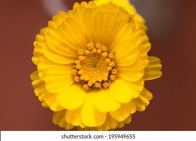Close up of a yellow desert flower