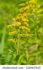 Close up of a yellow Early Goldenrod flower. Also known as Plume Golden-rod and Yellow Top. Todmorden Mills Park, Toronto, Ontario, Canada.
