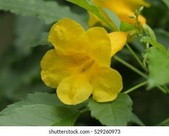 close up of yellow elder flower,yellow bells or trumpetbush, (tecoma stans)