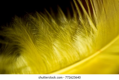 Close up yellow feather against a black background.