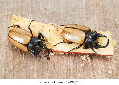 Close up yellow five horned beetle with sugar cane portion on wooden table