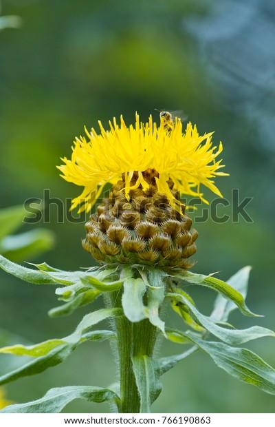 Close Yellow Flower Bighead Knapweed Centaurea Stock Photo Edit Now 766190863