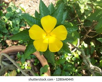 Close up yellow flower (Damiana flower)