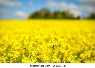 A close up of yellow flowering rapeseed fields in spring in Bavaria, Germany. Rapeseed is grown for the production of animal feeds, vegetable oils and biodiesel.