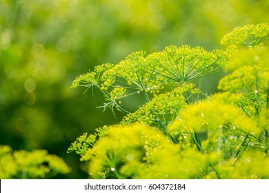 Close up yellow flowers of dill in vegetable garden.