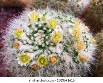 Close up of the yellow flowers of a Mammillaria Craigii (common name: Peyote de San Pedro) cactus blooming in Madrid, Spain.
