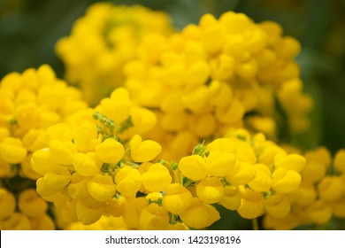Close up of yellow gorse flowers.