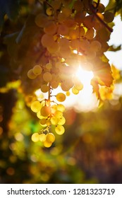Close up of yellow grapes in a vineyard at sunrise, with sun rays in the background