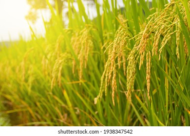 close up of yellow green paddy rice field in Thailand.