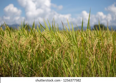 close up of yellow green rice field
