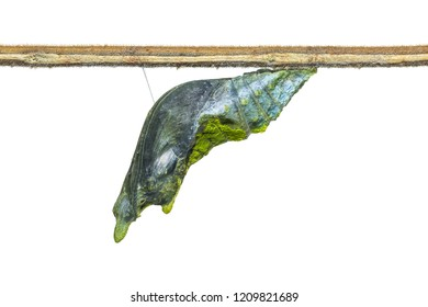 Close up of Yellow Helen or Black and White Helen (Papilio nephelus) pupa before its emerging, isolated on white background with clipping path