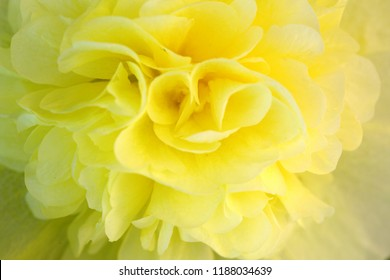 Close up of yellow hollyhock blossom .Flower background.
