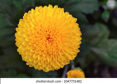 Close up of yellow Inca marigold or Culcutta Zendu, Pune