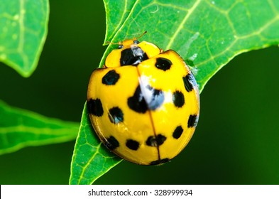 Close up of yellow Ladybird beetle or Ladybug on green leave.Insect