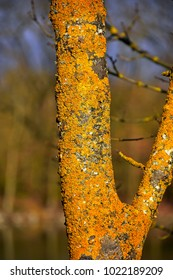 Close up of yellow lichen on a tree