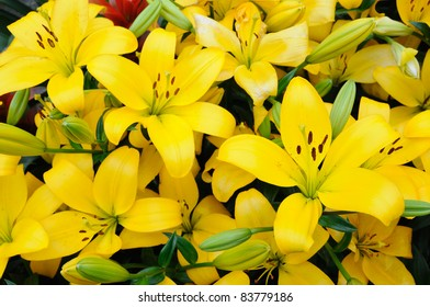 Close up of yellow lilies