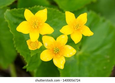 Close up of yellow Marsh Marigold flowers. Also known as King Cup. Taylor Creek Park, Toronto, Ontario, Canada.