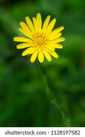 Close up of a yellow Meadow Goat's Beard flower. Also known as Meadow Salsify. High Park, Toronto, Ontario, Canada.
