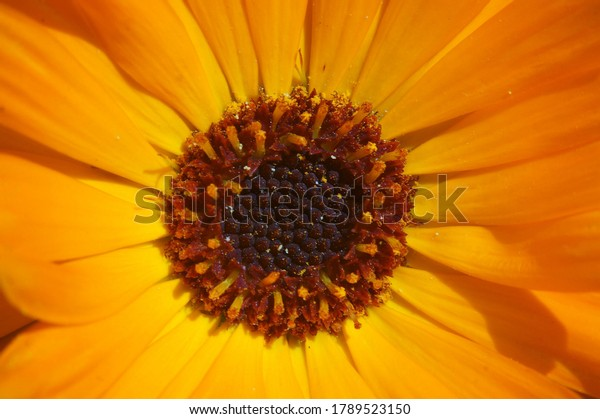 close-yellow-orange-english-marigold-600w-1789523150.jpg