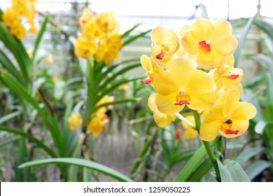 Close up of yellow orchids flowers on hanging at garden,Asian orchid.Phalaenopsis or Moth dendrobium Orchid flower at tropical garden, Floral background