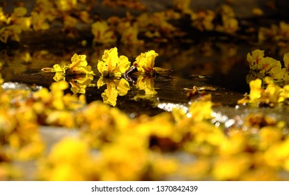 Close up of yellow petals flower that falling from Large Leopard tree to ground make nature background at Ho Chi Minh city, Vietnam on summer day