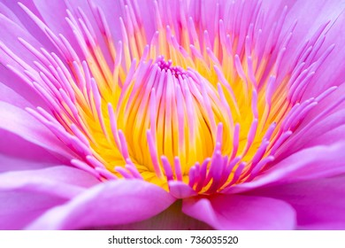 Close up the yellow pollen of beautiful pink lotus flower