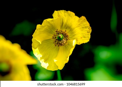 Yellow poppies images stock photos vectors shutterstock close up of yellow poppy head against dark background mightylinksfo