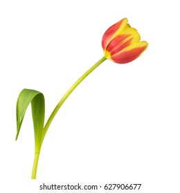 Close up of a yellow and red tulip - isolated on white background - still photograpy
