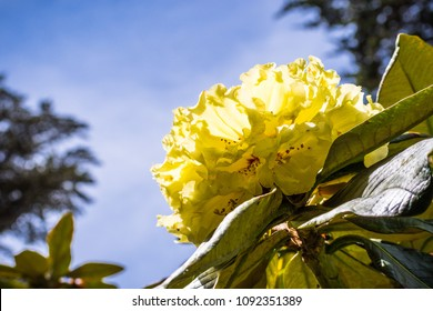 Rhododendron Yellow Images Stock Photos Vectors Shutterstock