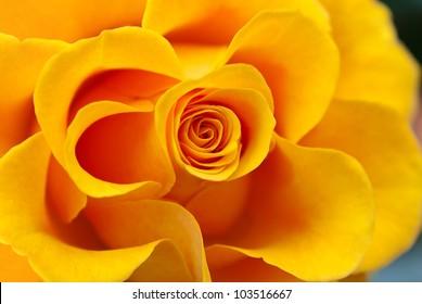Close up of yellow rose