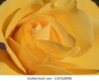 close up of yellow rose flower
