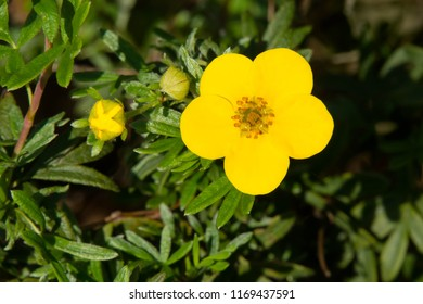 Close up of a yellow Shrubby Cinquefoil flower.  Also known as Bush Cinquefoil, Golden Hardhack, Shrubby Five-finger, and Tundra Rose. Colonel Samuel Smith Park, Toronto, Ontario, Canada.