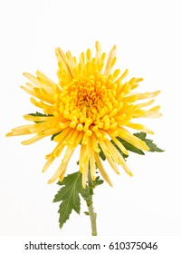 Close up of  yellow spider mum flower, leaves and stem.