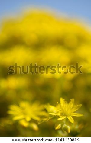 Close Yellow Starshaped Flower Flower Aeonium Stock Photo Edit Now
