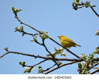 Close up of a Yellow Warbler in a tree