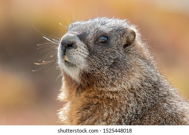 Close up of Yellow-bellied Marmot. Colorado, USA. Fall colors in background.