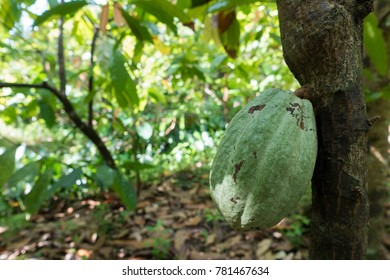 Close up of yellow-orange cacao cocoa fruit or pod in the sunny day on Theobroma cacao tree. Theobroma cacao also called the cacao tree and the cocoa tree