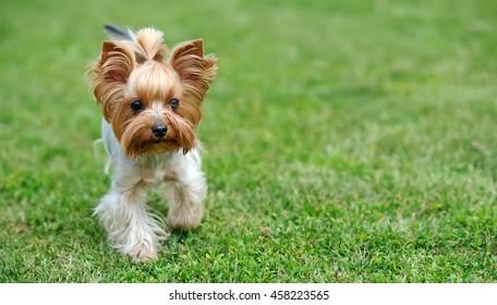 Close Yorkshire Terrier dog in green summer grass