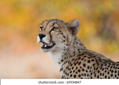 A close up of a young cheetah