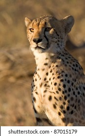 A close up of a young cheetah in golden light