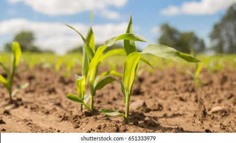 close up of young corn plants in the field on a sunny day
