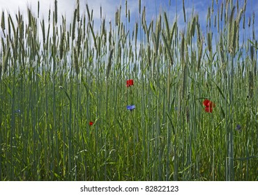 """Close to a young cornfield of rye """"Secale cereale"""""""