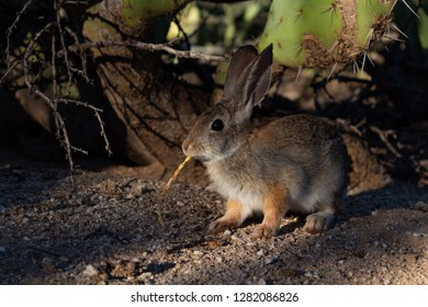Close up of a young Desert Cottontail Rabbit in the Sonoran Desert outside of Tucson, Arizona. Eating a seed pod from a tree in front of a prickly pear cactus. Cute bunny, Sylvilagus audubonii.