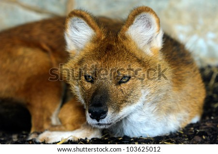 Close up of a young Dhole or Indian Wild Dog (Cuon alpinus) looking at the viewer.