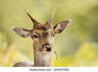 Close up of a young Fallow deer eating oak leaf, autumn in UK.