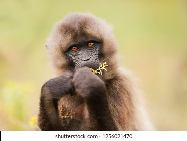 Close up of a young Gelada monkey also know as bleeding heart monkey eating grass, Ethiopia.