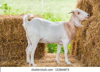 Close up young goat in farm fron central of Thailand