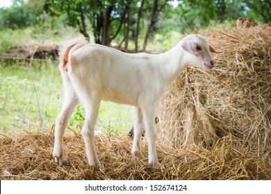 Close up young goat playing in farm from Thailand