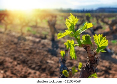Close up of young grapevines buds blooming in vineyard.Back lit leaves against sunset.
