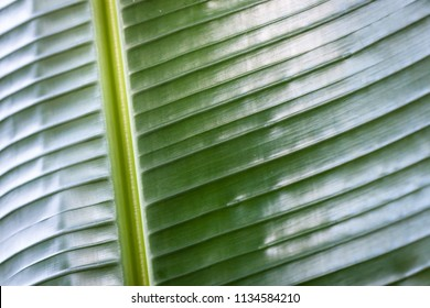 A close up of a young green  banana leaf  with dramatic side light for a texture or background.
